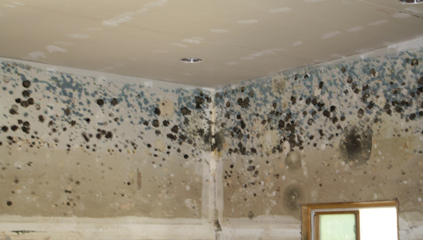 toxic mold on wall mold spores